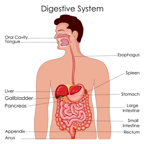 Digestive system Anatomy Vector EPS