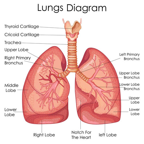 Lung Anatomy Vector EPS