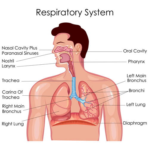 Respiratory system Anatomy Vector EPS